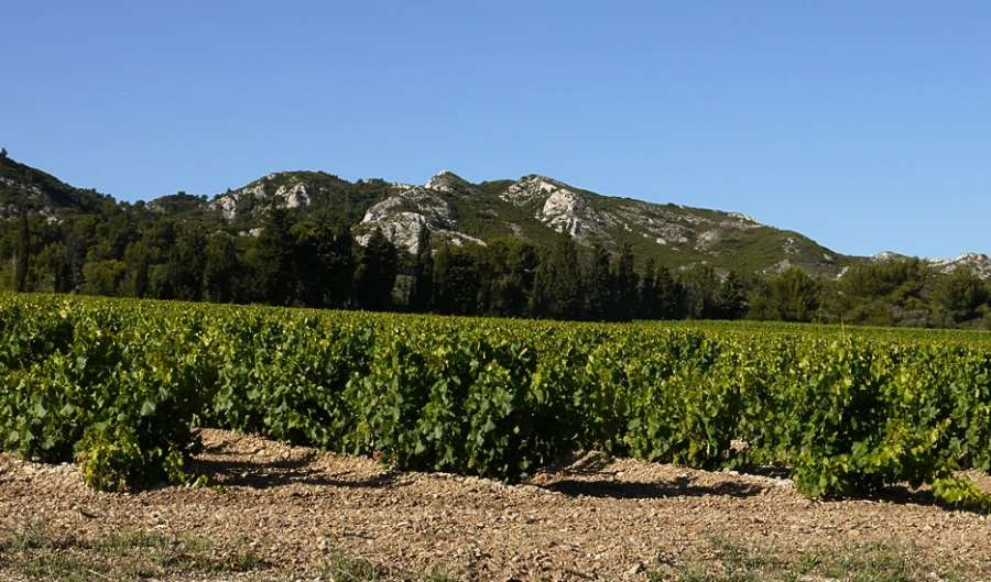 a photo of grape vinevards and hills