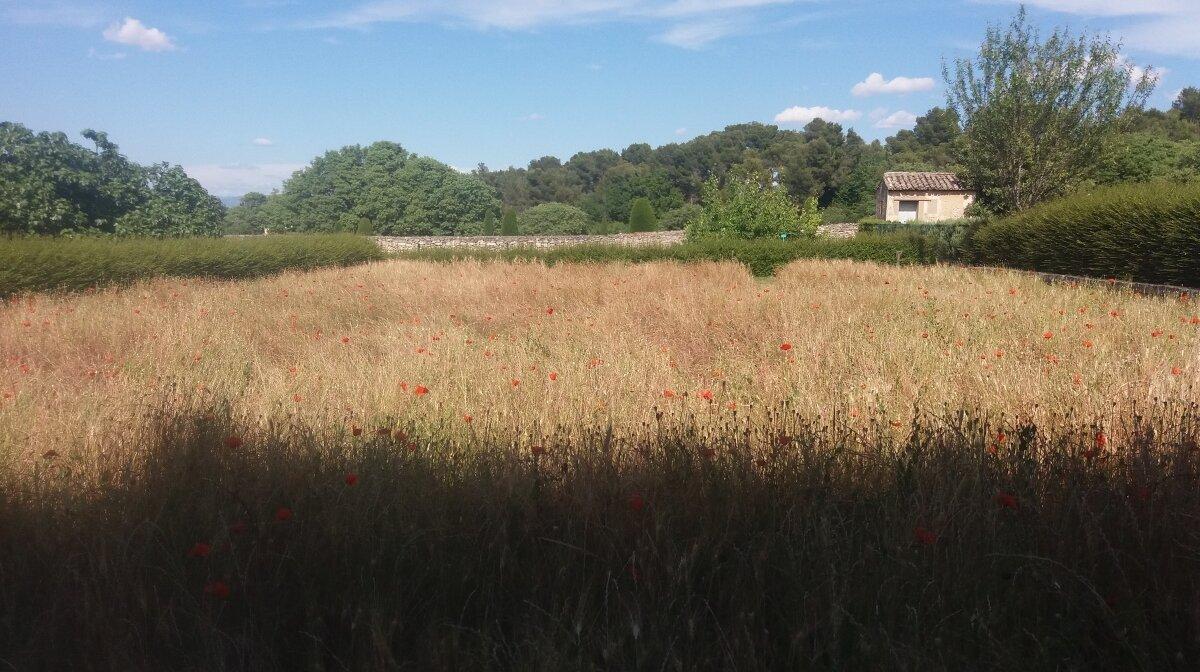 a poppy field