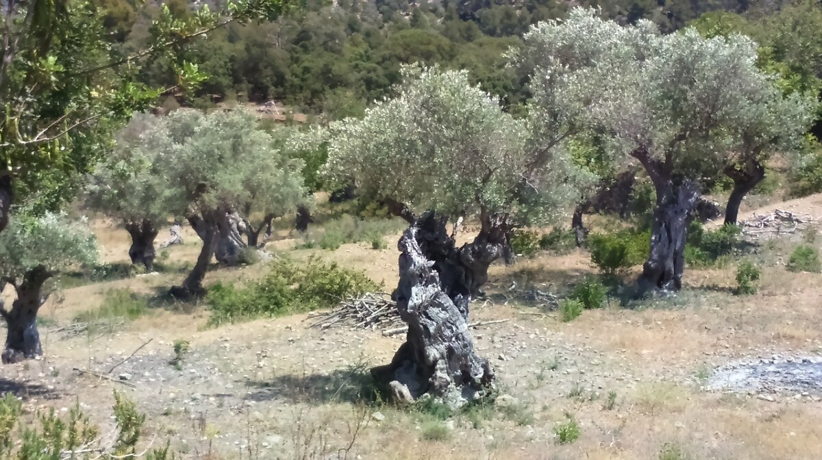 gnarled olive trees in mallorca