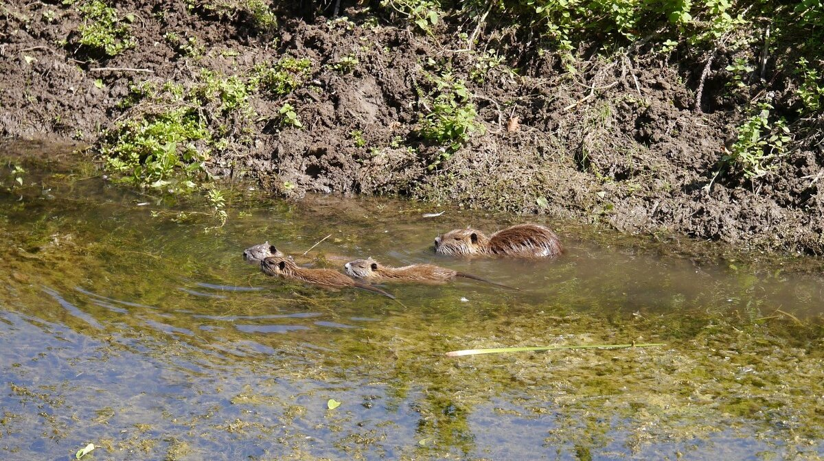 a family of river otters int eh water