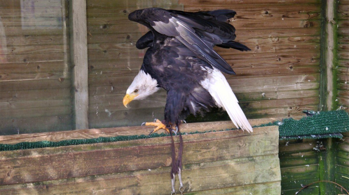 an eagle at the estate of chateau dea milandes